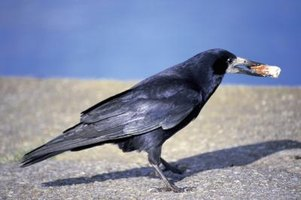 Crows regularly use tools to forage and feed.