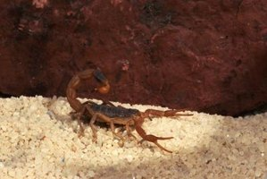 Be careful to prevent stings when identifying a scorpion's gender .