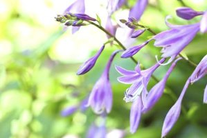 Hosta flowers can be showy and fragrant.