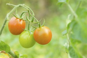 Tomato plants growing on vine