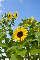 Use sunflower look-alikes to match the flowers you already have growing in your garden.