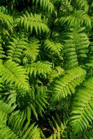 There are many species of ferns.