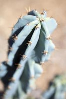 Prune your cactus to save it from rot.