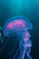 Though sometimes packing a nasty sting, jellyfish are often marvelous to behold.
