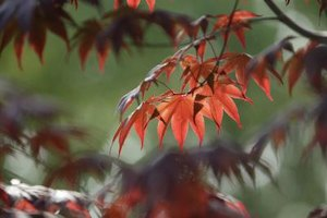 Vine maples are native to the United States.
