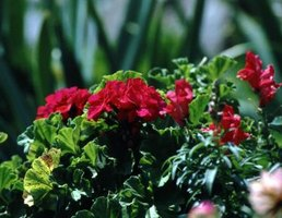 Geraniums can fall prey to a number of pests.