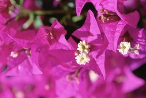 Colorful paper bracts surround bougainvillea flowers.