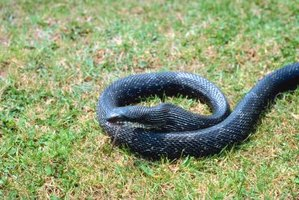 How to Get Rid of Black Rat Snakes