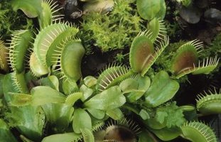 Native Venus flytraps reside in a small slice of the Carolinas.