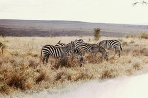 Zebra can move in large herds for protection.