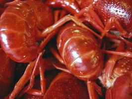 Crayfish are eaten as a delicacy in many parts of the world.