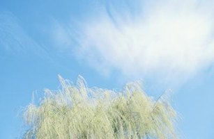 Characteristics of weeping willows differ from those of some other willows.