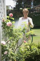 Watering your roses without encouraging invading grass is possible.