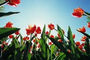 How to plant tulips in texas ehow for Tulip garden in texas