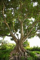 Many varieties of fig trees may grow 10 to 50 feet tall.