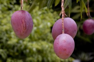 When you plant a mango tree in a container, you can expect fruit in about three years.