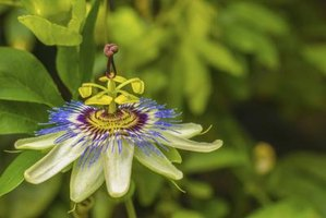 Passionflower vines use tendrils to climb.