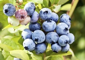 Several blueberry varieties perform well in cold climates.