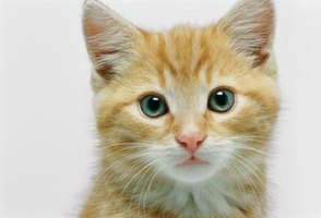 How to Care for Teacup Kittens