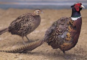 Game fowl are hunted and bred for food.