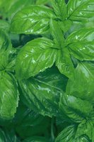 Basil comes from the mint family and has a minty aftertaste.