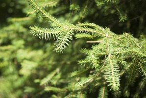 Needles on a coniferous tree branch in the sunlit woods.