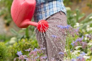 Watering can pouring water onto plant.
