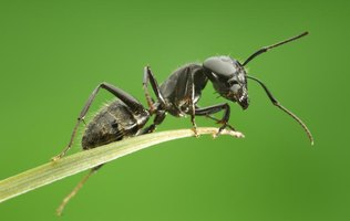 Yard ants are not only a nuisance, some can be harmful and even deadly to animals and people.