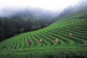 Workers tend to Camellia sinensis plants on a mountain plantation.