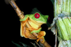 Make your own tree frog to accompany your school project.