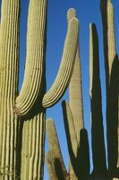 The saguaro cactus, even when dead, can be used for a number of purposes.
