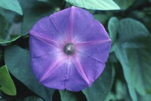 Morning glories and moonflowers share the same flower structure.