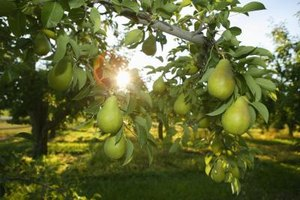 Ure pear trees bear yellow-green pears best suited for jams or canning.