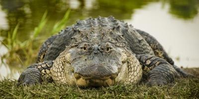 In 1987, the alligator was officially named the state reptile of Florida.