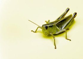 There are over 10,000 species of grasshoppers.