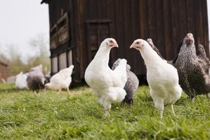 Hens can behave aggressively towards newcomers.