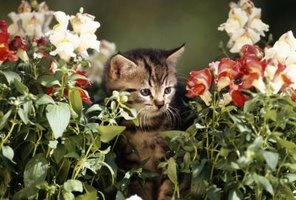 Snapdragons: suitable for kitty consumption. Lily of the valley, not so much.