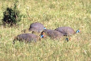 Guinea fowl are in the same poultry group as pheasants and turkeys.