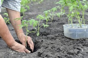 Too much nitrogen in the soil when tomatoes are seedlings will produce vigorous plants but reduced flowering and fruiting.