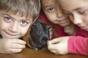 Children are more susceptible to ringworm, so don't allow them to handle an infected guinea pig or clean out the cage.
