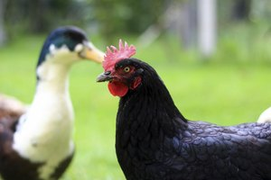 Chickens and ducks don't need to smell unpleasant if kept in the right conditions.
