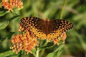 "Plants with ""butterfly"" in their common names, such as butterfly weed, attract butterflies."