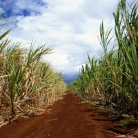 Hobbyists grow sugar cane for the syrup and for chewing.