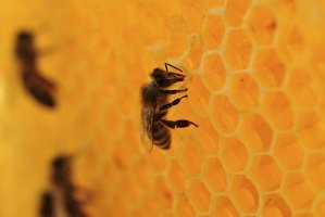 Beeswax is used by honey bees to make honeycomb cells.