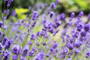 "Englisher lavender is known as the ""true"" lavender."