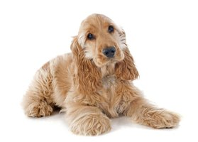 Urinary incontinence is common in the cocker spaniel breed.