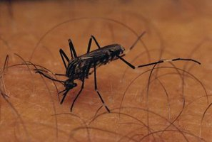 Mosquitoes carry deadly diseases such as malaria, encephalitis and West Nile virus.