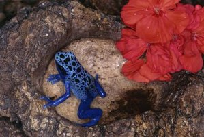 An overhead view of a blue poison dart frog on a log.