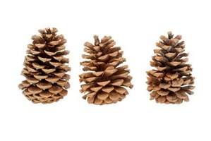 Collect pine cones or nuts shortly after they fall from the tree to prevent discoloration.