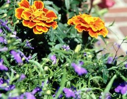 Dwarf varieties of French marigolds are efficient at discouraging nematodes.